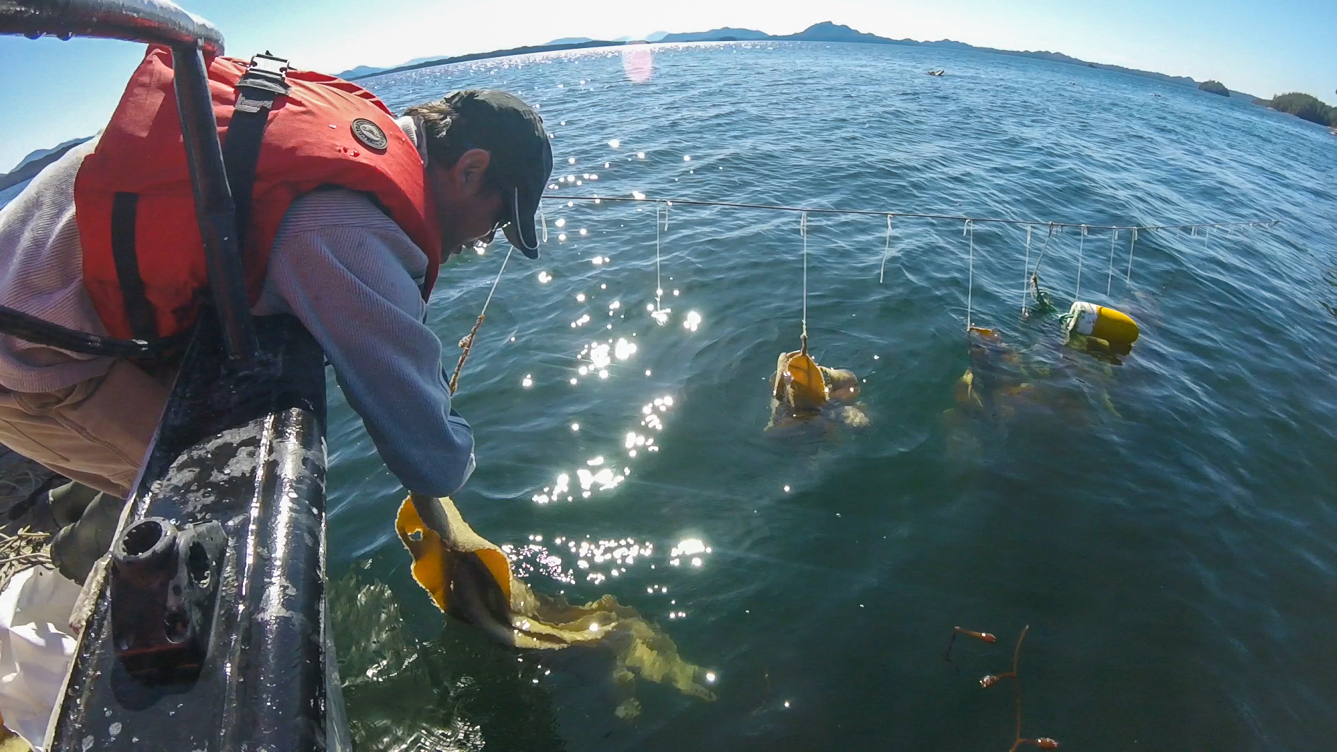 Heiltsuk Guardian collecting Spawn on Kelp off the boat